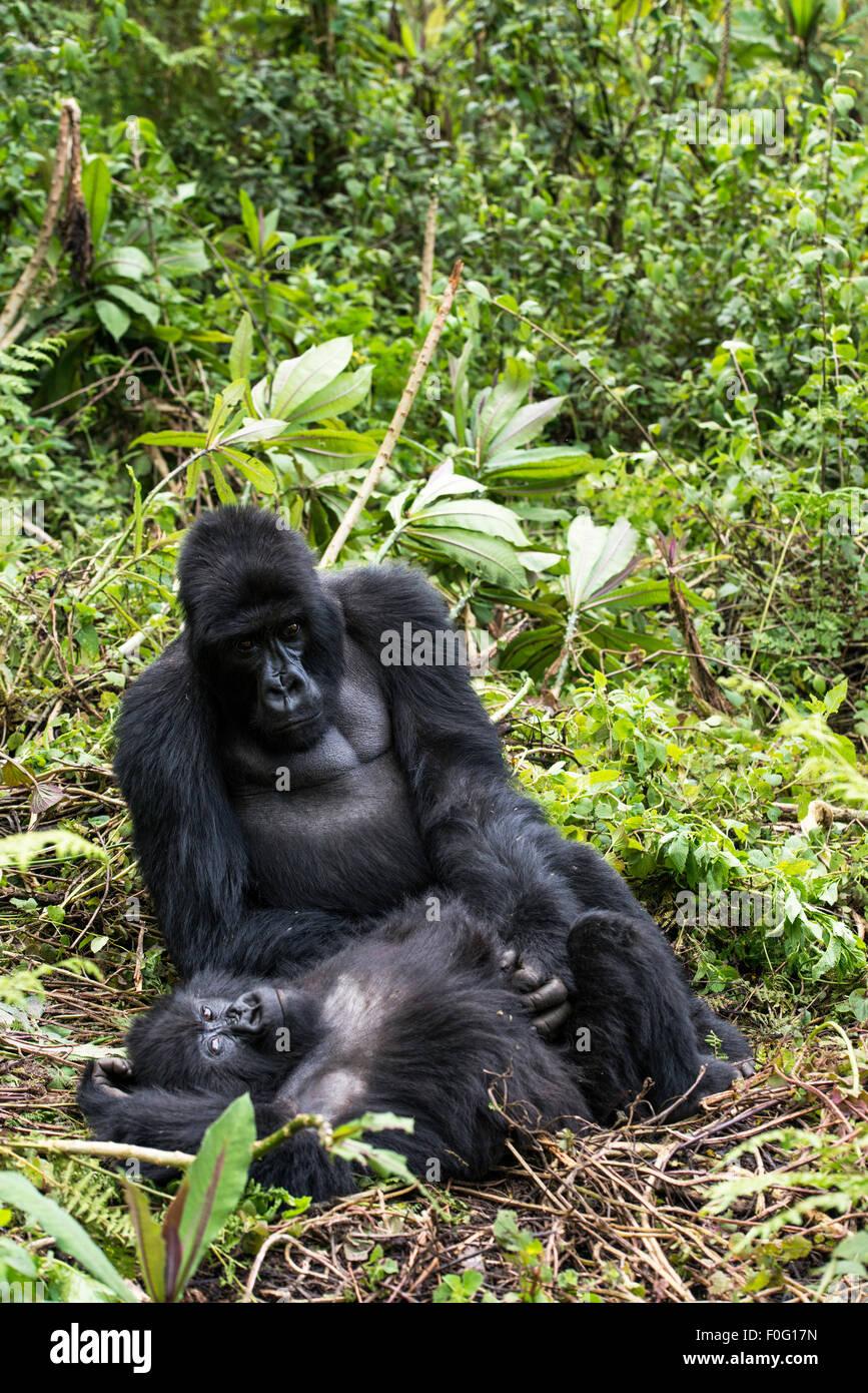 Adult male and female mountain gorillas grooming Volcanoes National Park Rwanda Africa - Stock Image