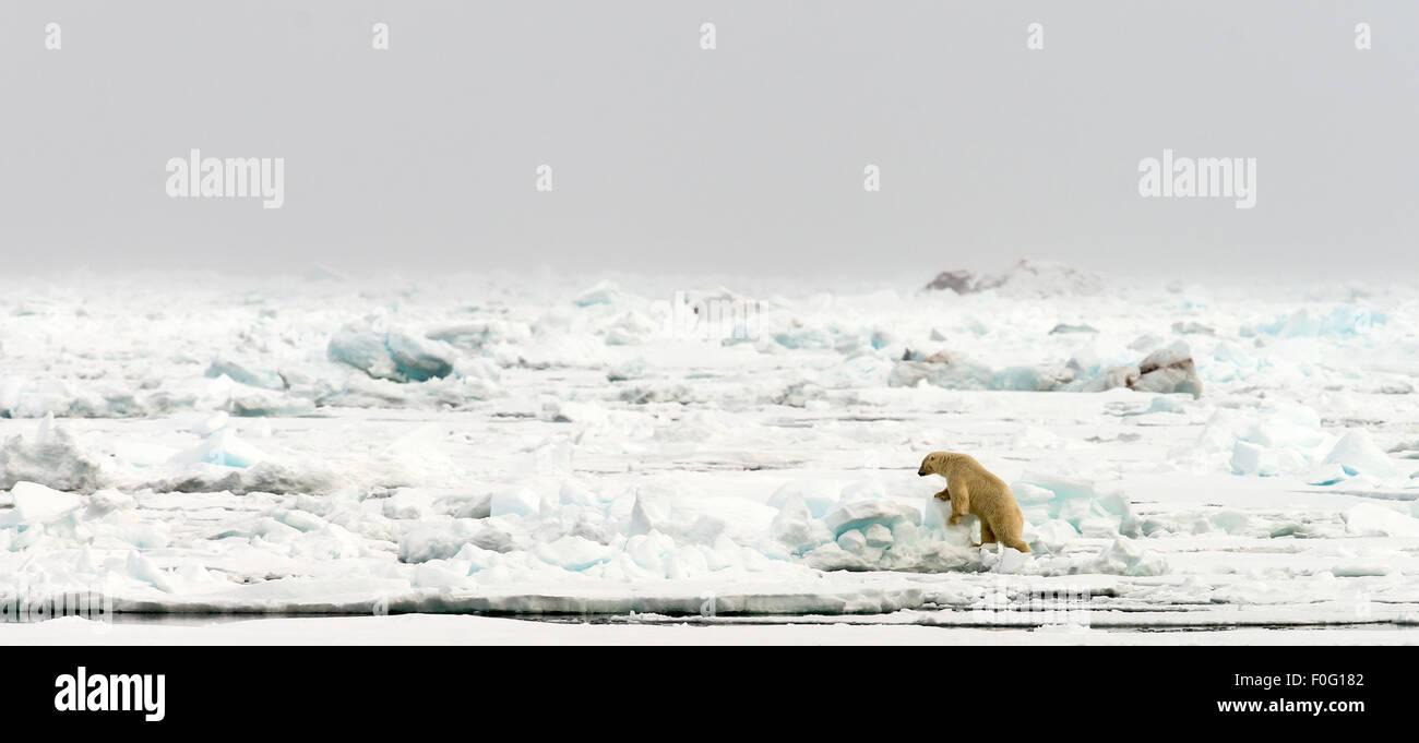 Polar bear walking on pack ice Svalbard Spitsbergen Norway Arctic Circle Scandinavia Stock Photo