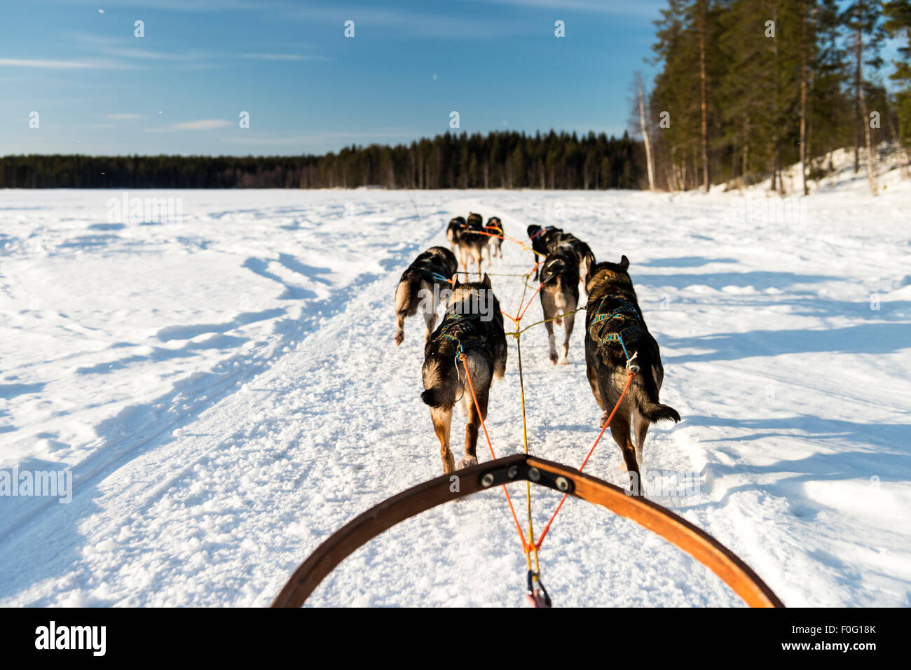Dog sledding on snow with forest trees in the background Swedish Lapland Sweden Scandinavia - Stock Image