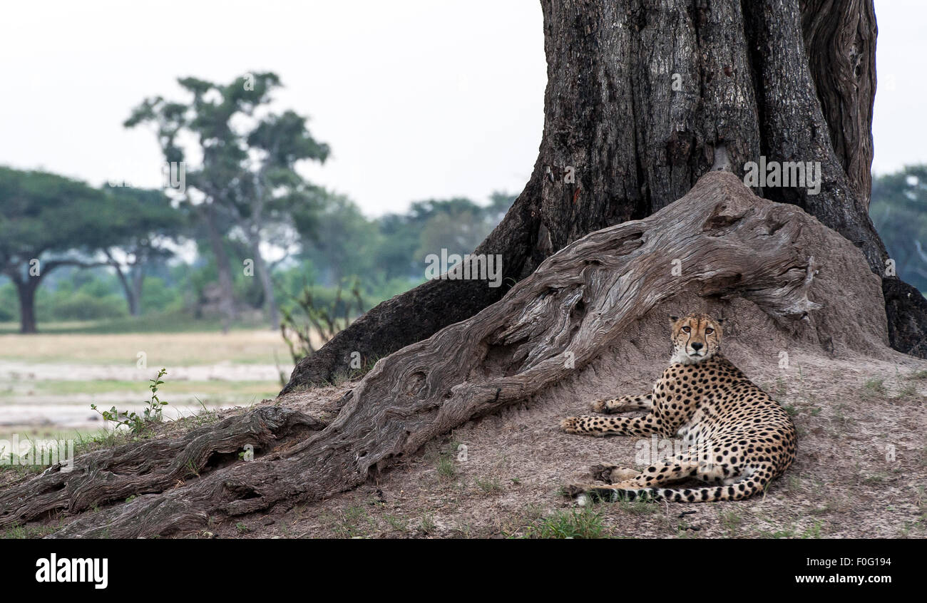 Adult cheetah resting under a tree Hwange National Park Zimbabwe Africa Stock Photo