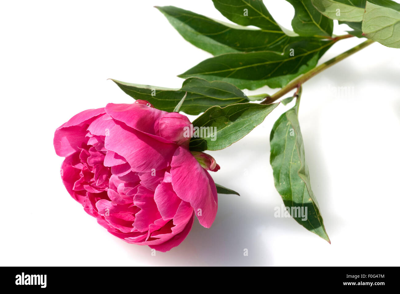 Pfingstrose, Paeonia officinalis, Stock Photo