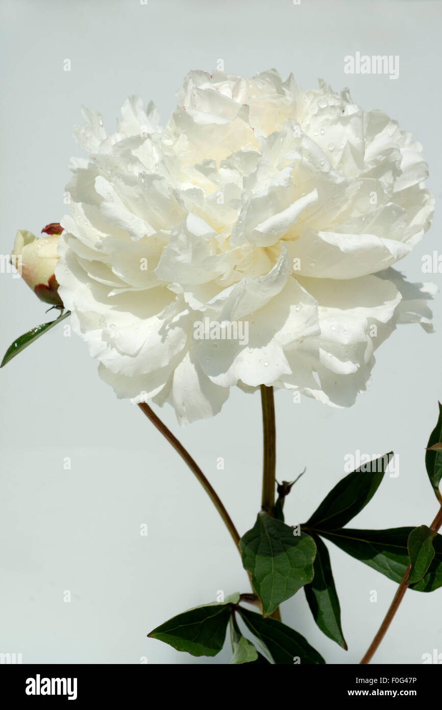 Pfingstrose; Paeonia officinalis, weiss, Stock Photo
