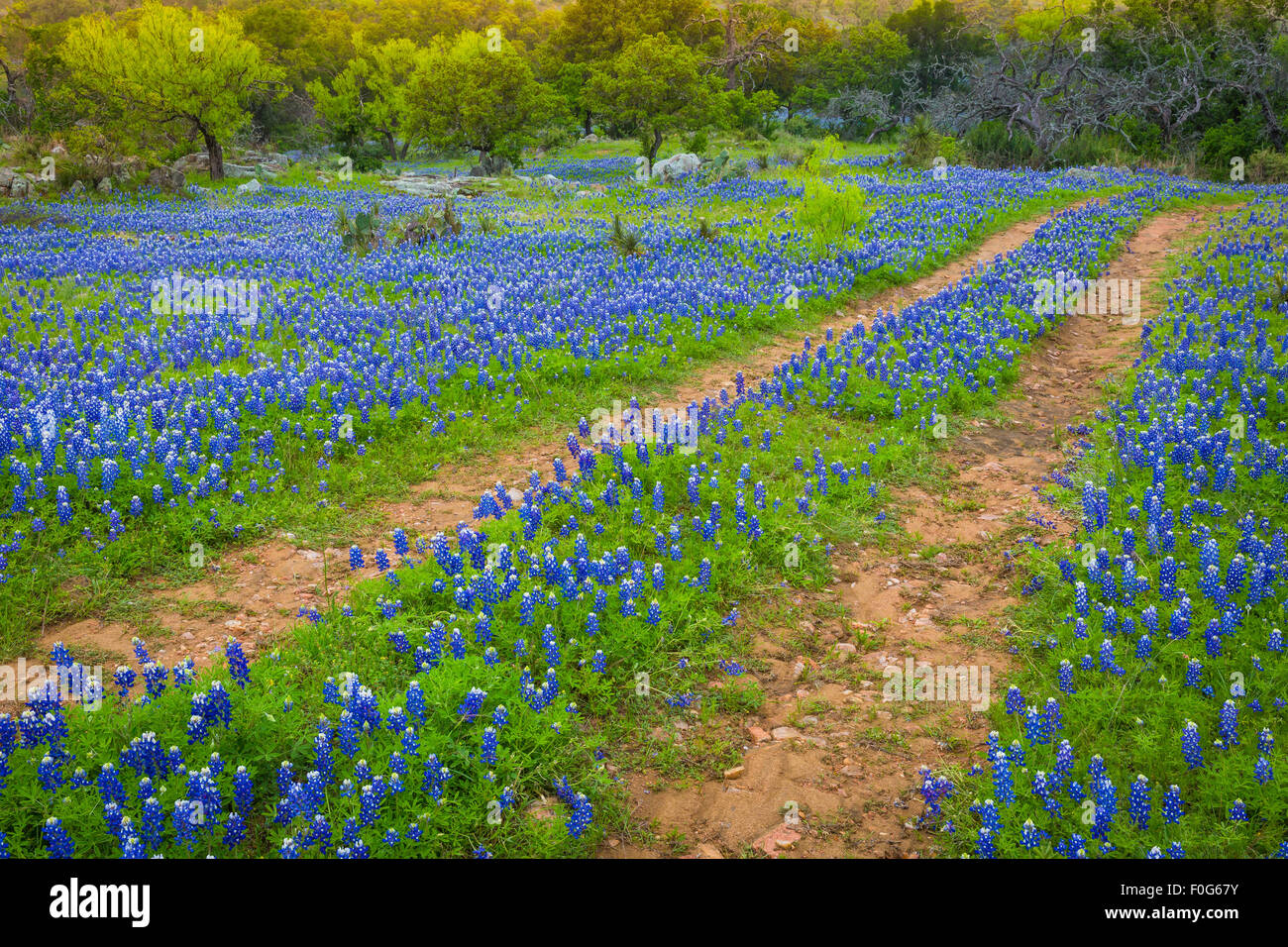 Old road and bluebonnets in the Texas Hill Country - Stock Image