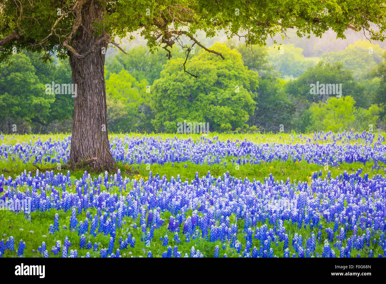 Bluebonnet field underneath an oak tree near Llano, Texas - Stock Image