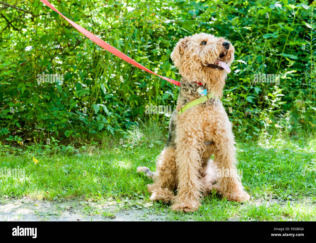 Friendly obedient dog out on a walk, waiting for his master's command. - Stock Image