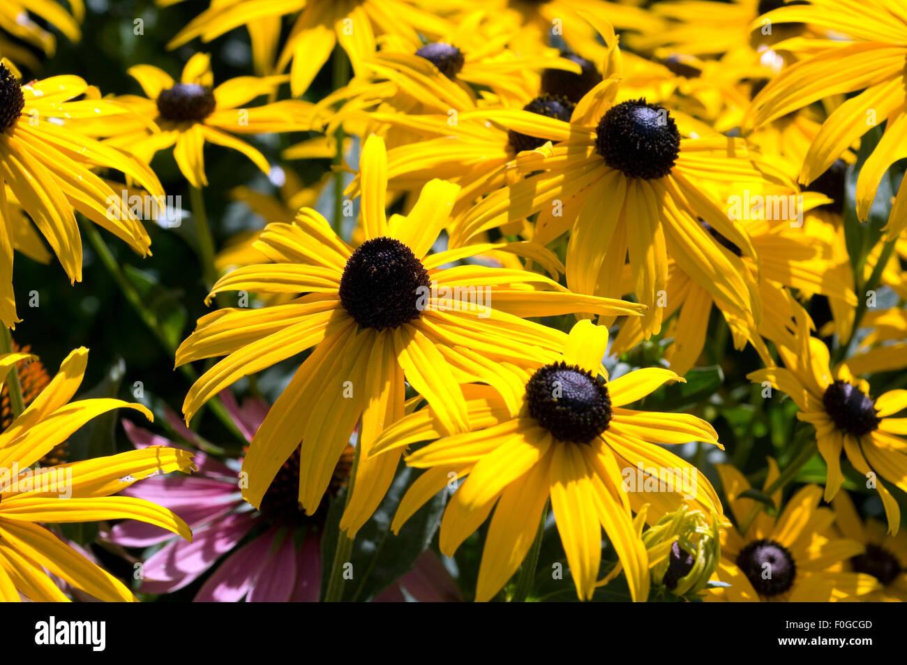 Sonnenhut, Rudbeckia hirta, - Stock Image