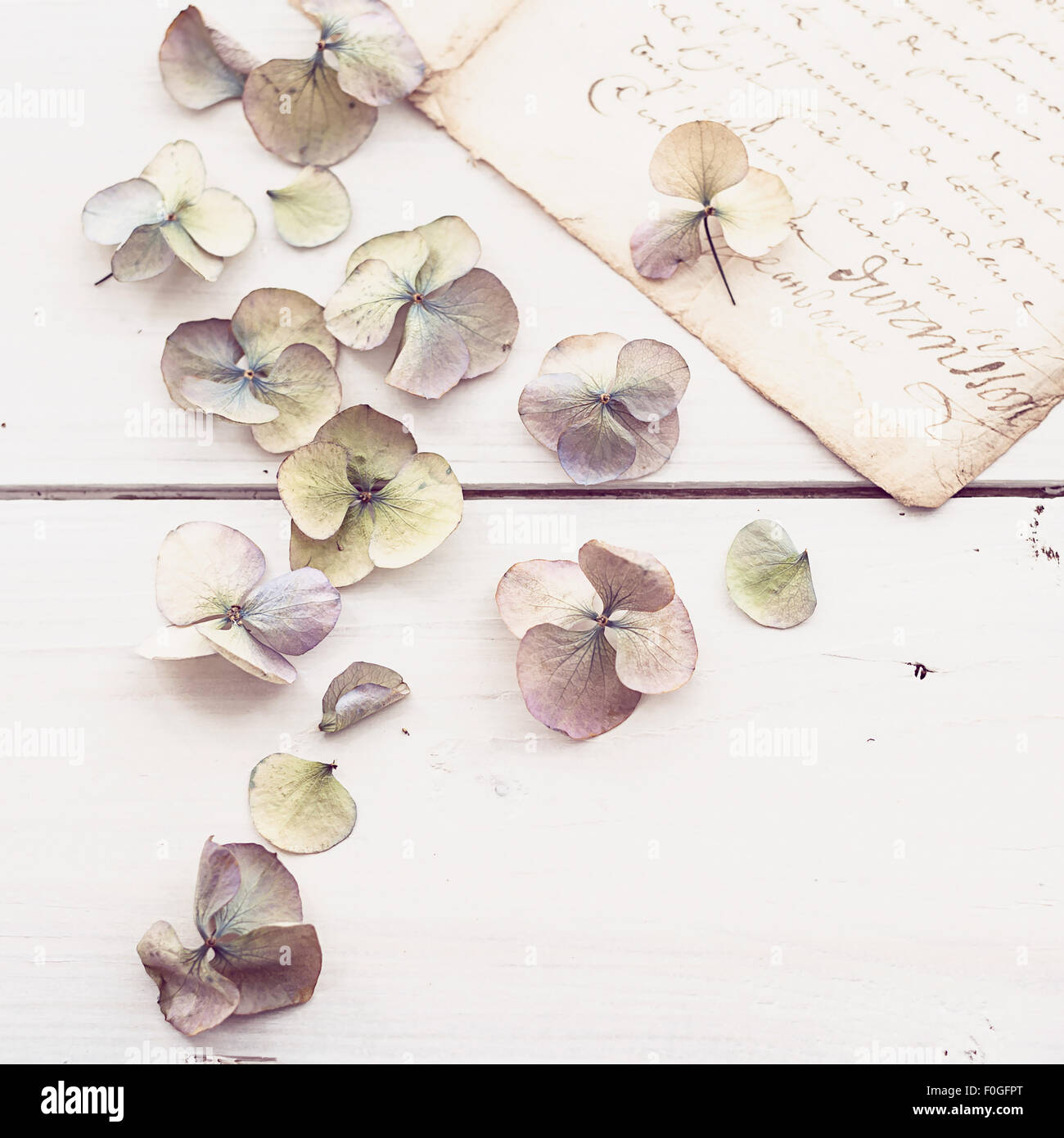 closeup of faded hydrangea flowers with vintage letter in the background - Stock Image