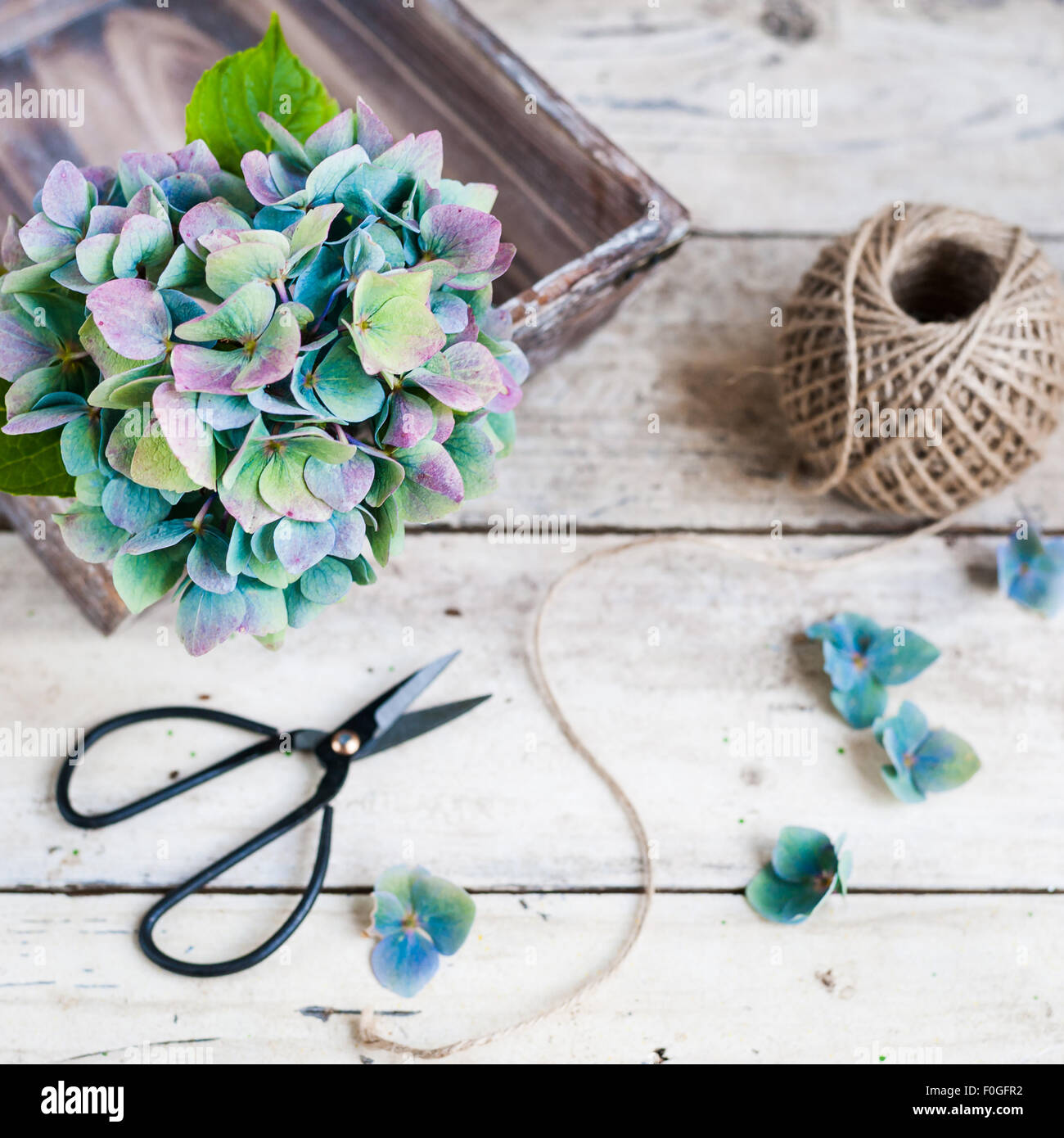 Blue-purple hydrangea in a basket on wooden table with twine and black scissors - Stock Image