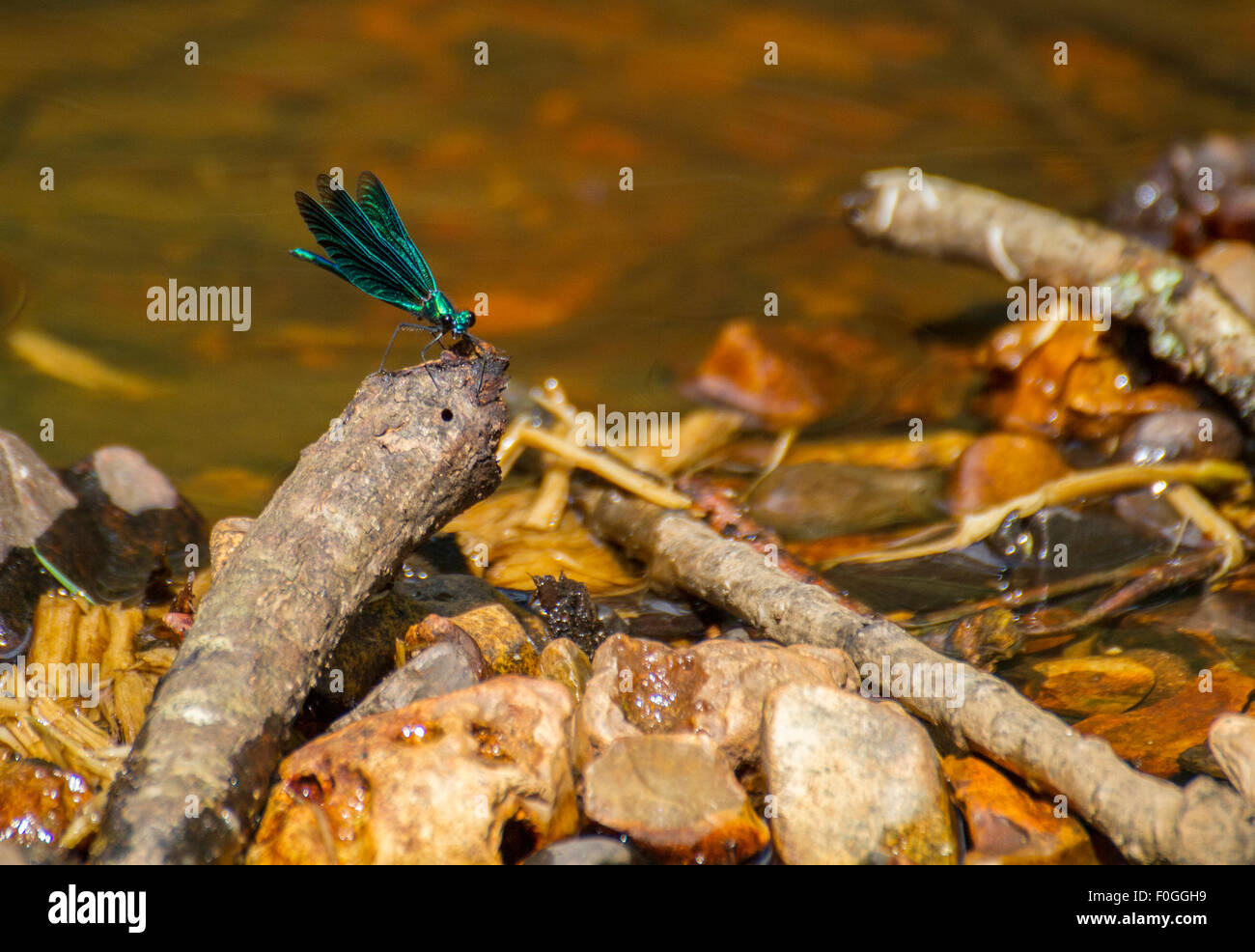 colourful dragonfly on twig and stones in river - Stock Image