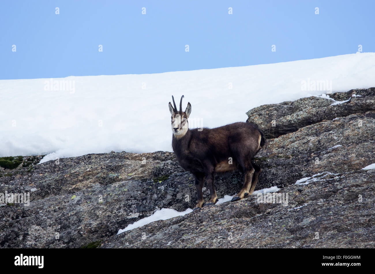 ibex, italian ibex, ibex of alps, ibex closeup - Stock Image