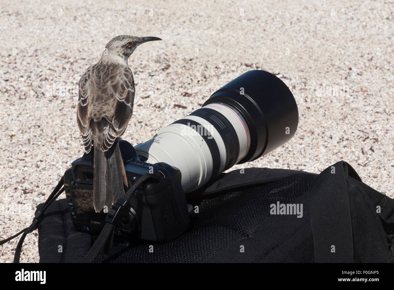 Espanola Mockingbird (Mimus macdonaldi) perched on tourist's camera and pack. Stock Photo