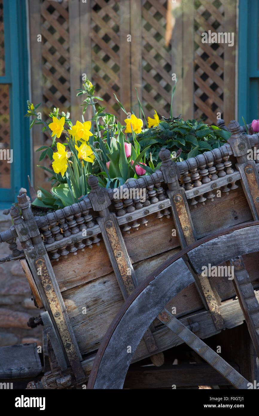 Daffodils in western wagon - Stock Image