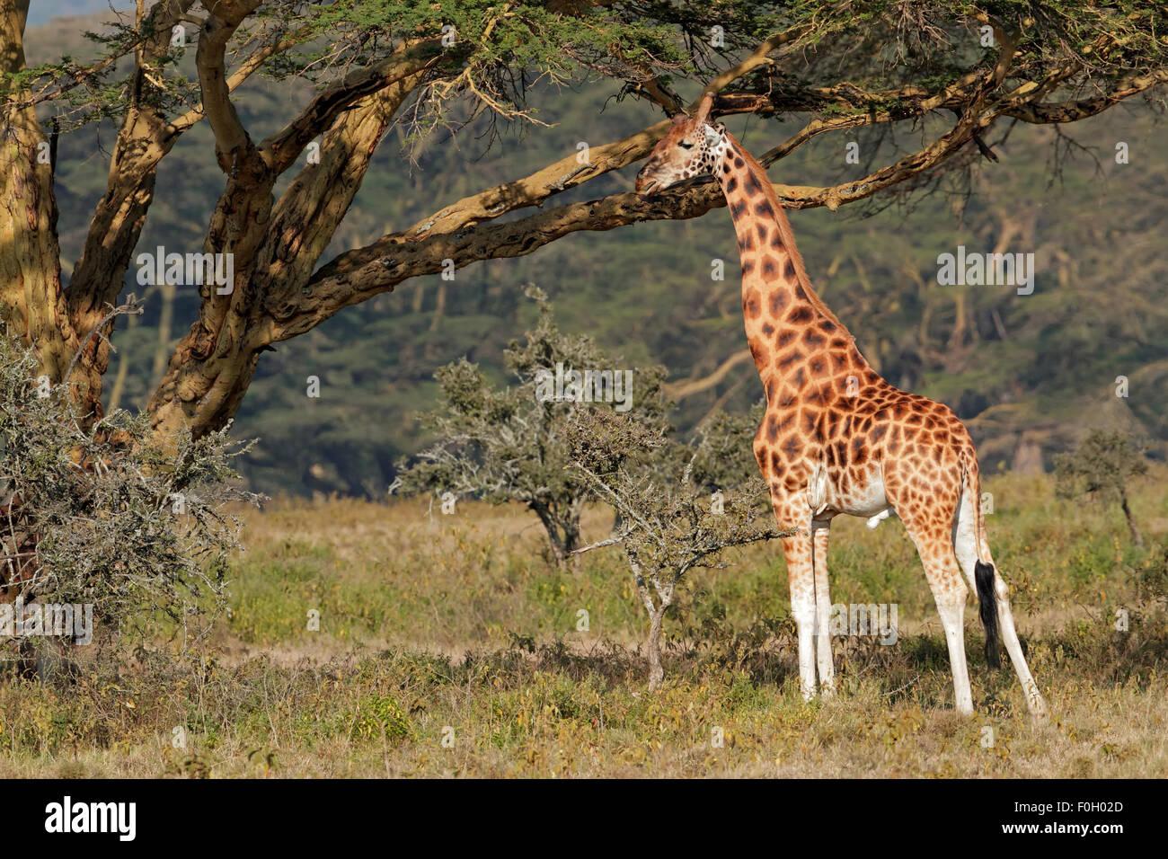 Rare Rothschilds giraffe (Giraffa camelopardalis rothschildi), Lake Nakuru National Park, Kenya - Stock Image