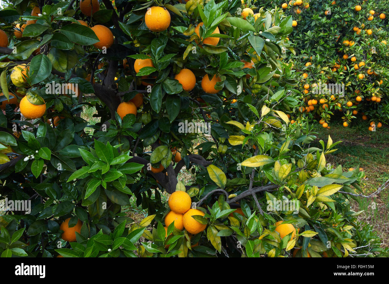 Ripe oranges on tree (Citrus sinensis) Crete, Greece, April 2009 Stock Photo