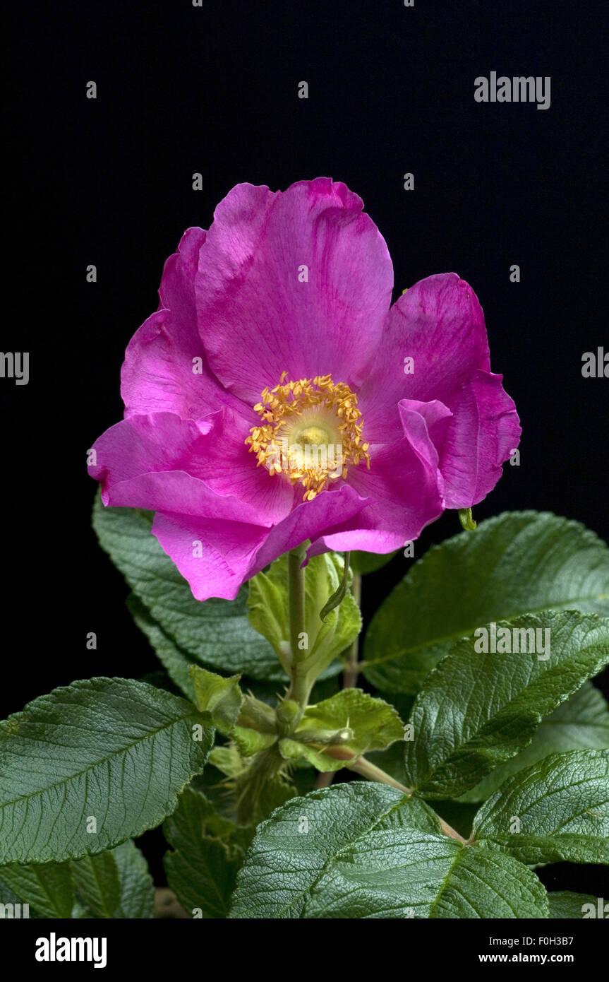 Strauchrose; Rosa rugosa, - Stock Image