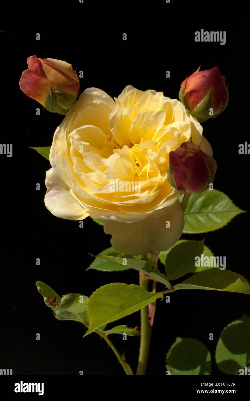Englische, Rose, David, Austin, Strauchrose, - Stock Image