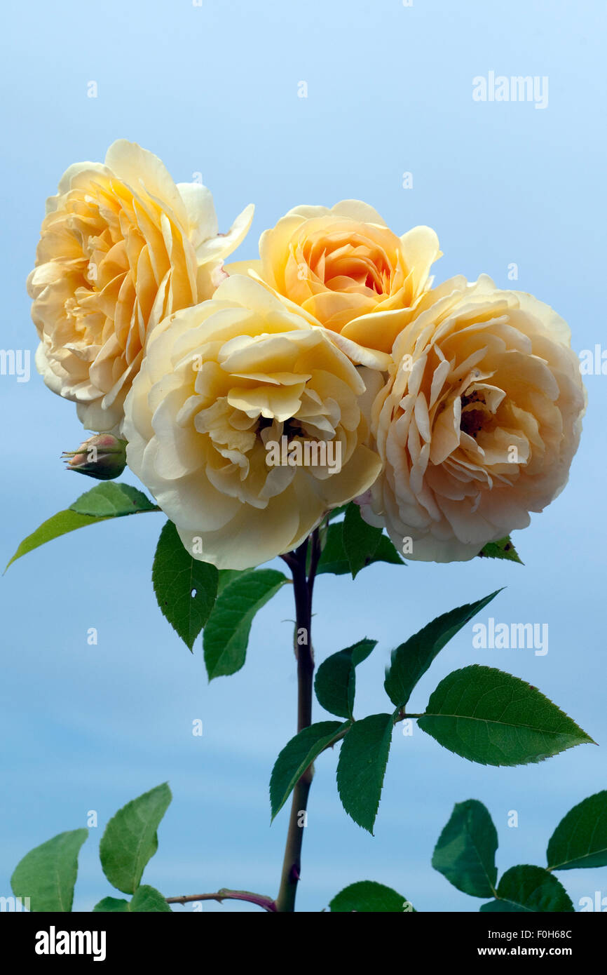 Englische, Rose, David, Austin, Strauchrose, Blume, Rosa, - Stock Image