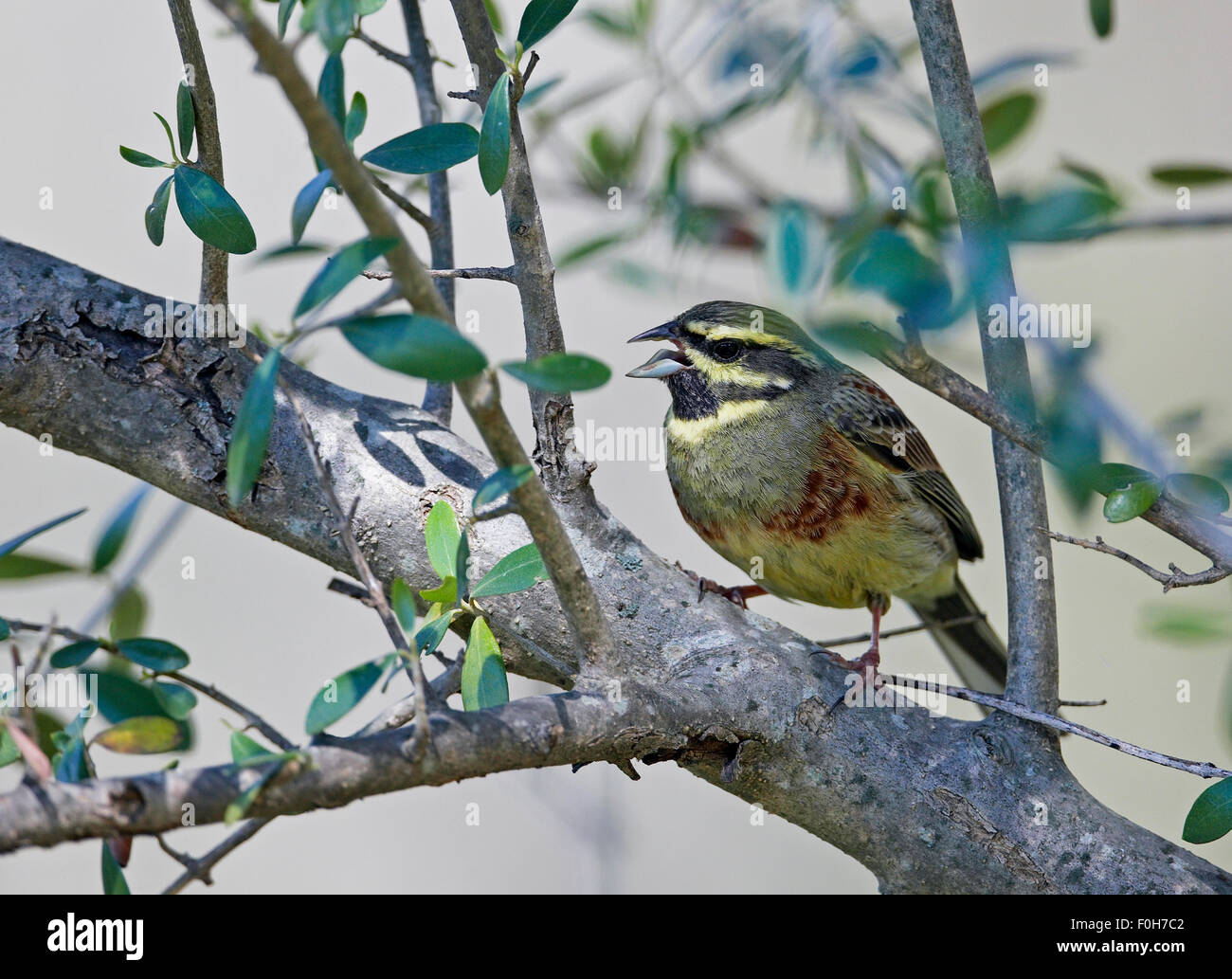 Male Cirl Bunting (Emberiza cirlus) perched in tree singing, Extremadura, Spain, April 2009 - Stock Image