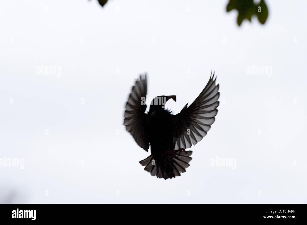 Common starling (Sturnus vulgaris) flying in garden of Vatican City, Rome, Italy, March 2010 - Stock Image