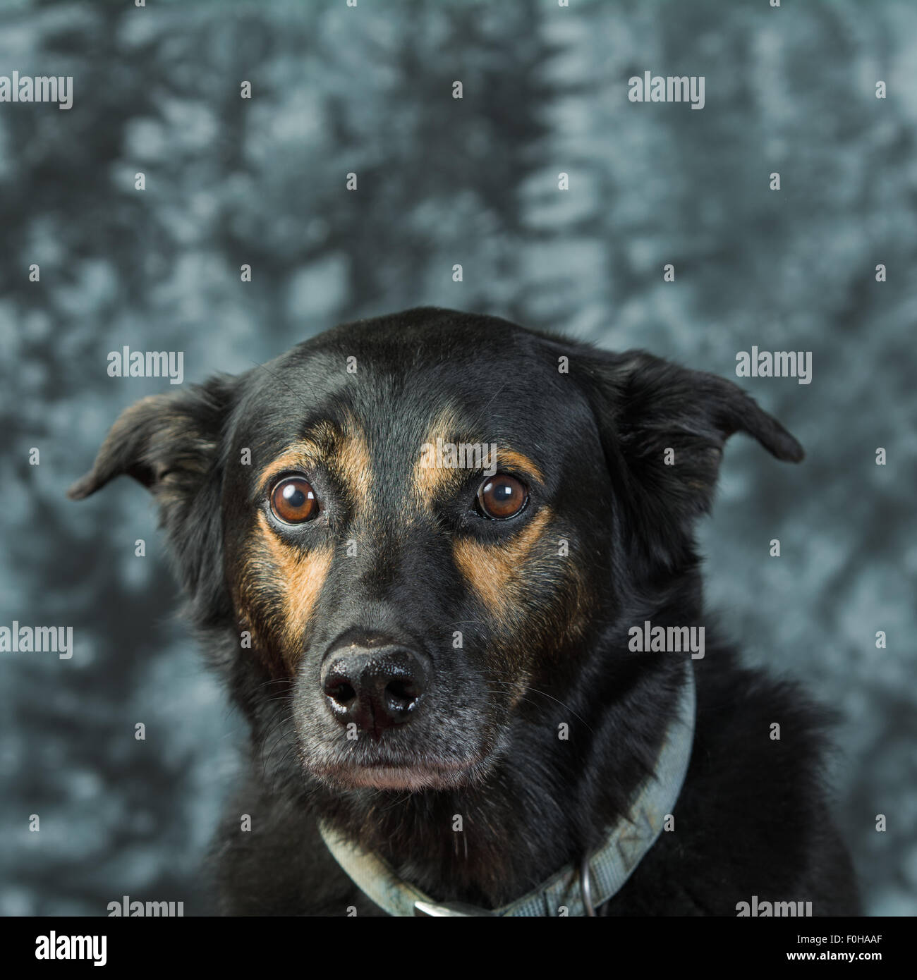 black dog sadly looks at camera stock photo, royalty free image