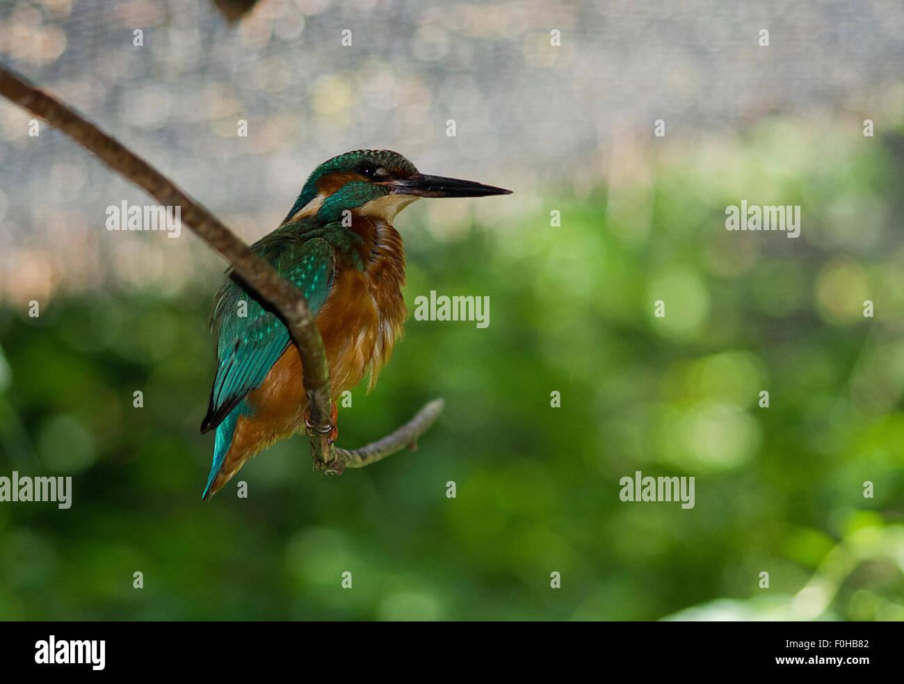 Kingfisher, alcedo hattis closup, kingfisher on a lake, italian wild - Stock Image