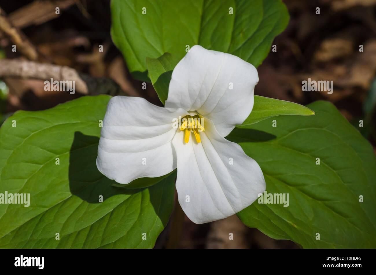 White Trillium Ontarios Provincial Flower Stock Photo 86435841 Alamy
