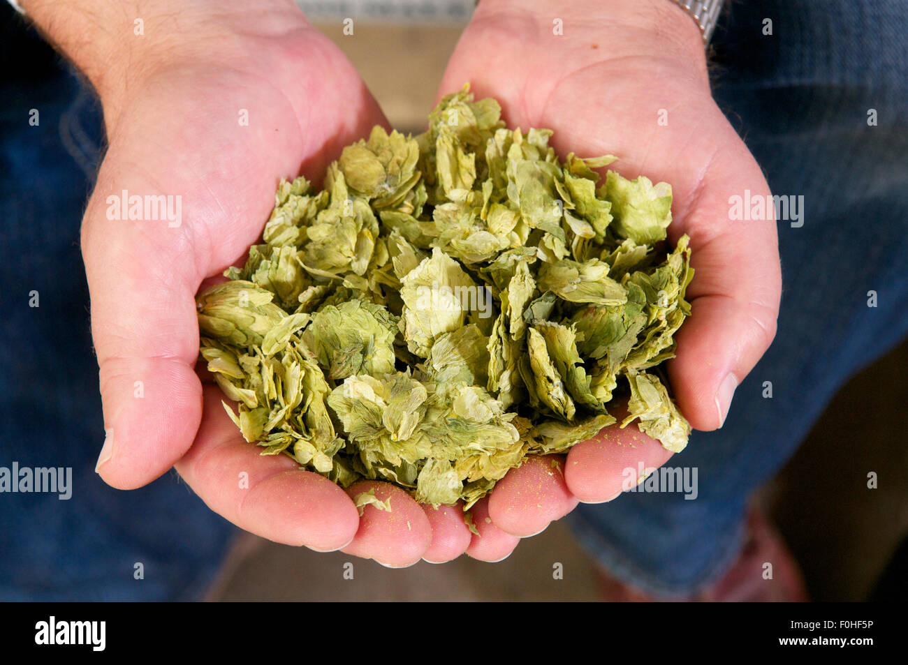 Holding hops for brewing, UK - Stock Image