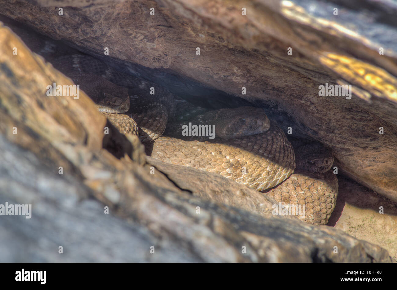 Western Diamond-backed Rattlesnakes, (Crotalus atrox), laying out at a den in New Mexico, USA. Stock Photo