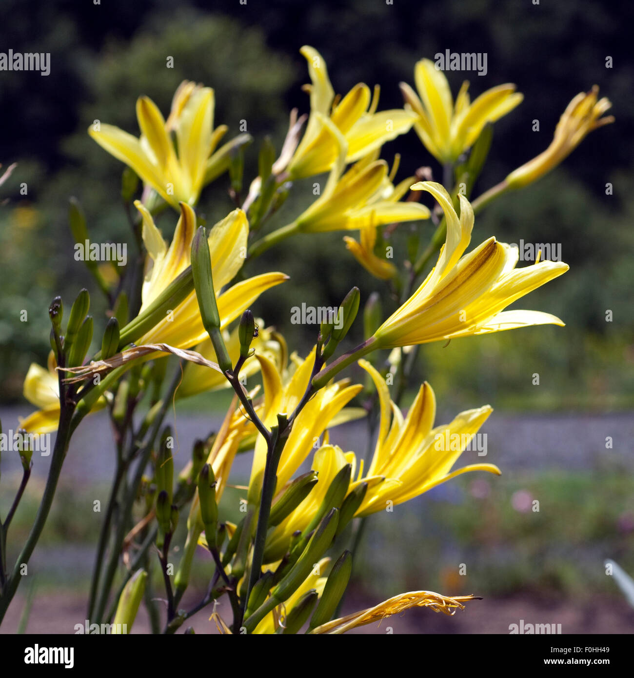 Lilien - Stock Image