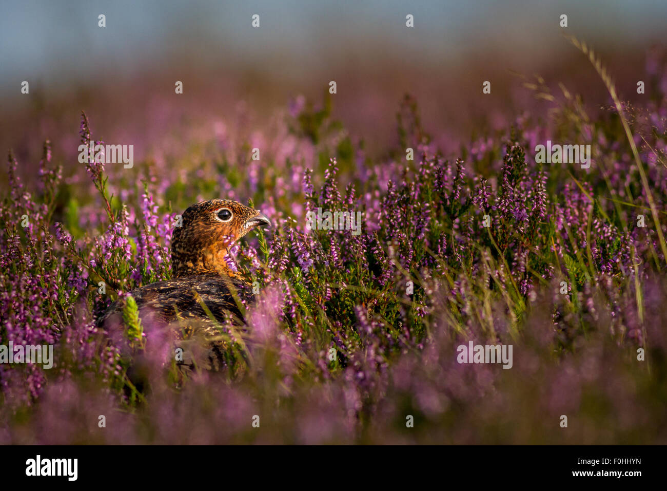 Red grouse (lagopus lagopus) hiding in the flowering heather - Stock Image