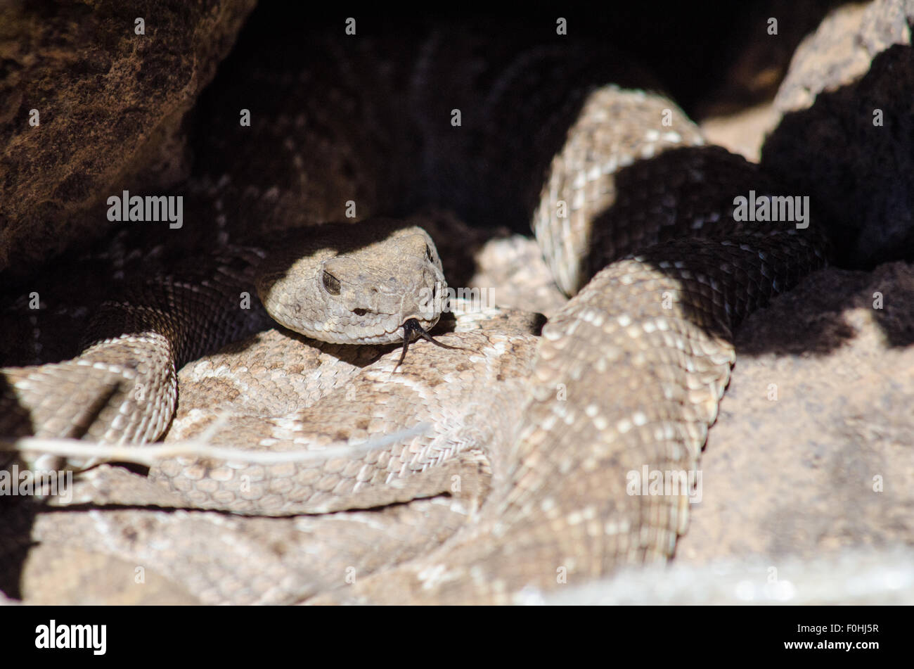 Courting Western Diamond-backed Rattlesnakes, (Crotalus atrox), Volcanoes Day Use Area, Petroglyph National Monument, Stock Photo