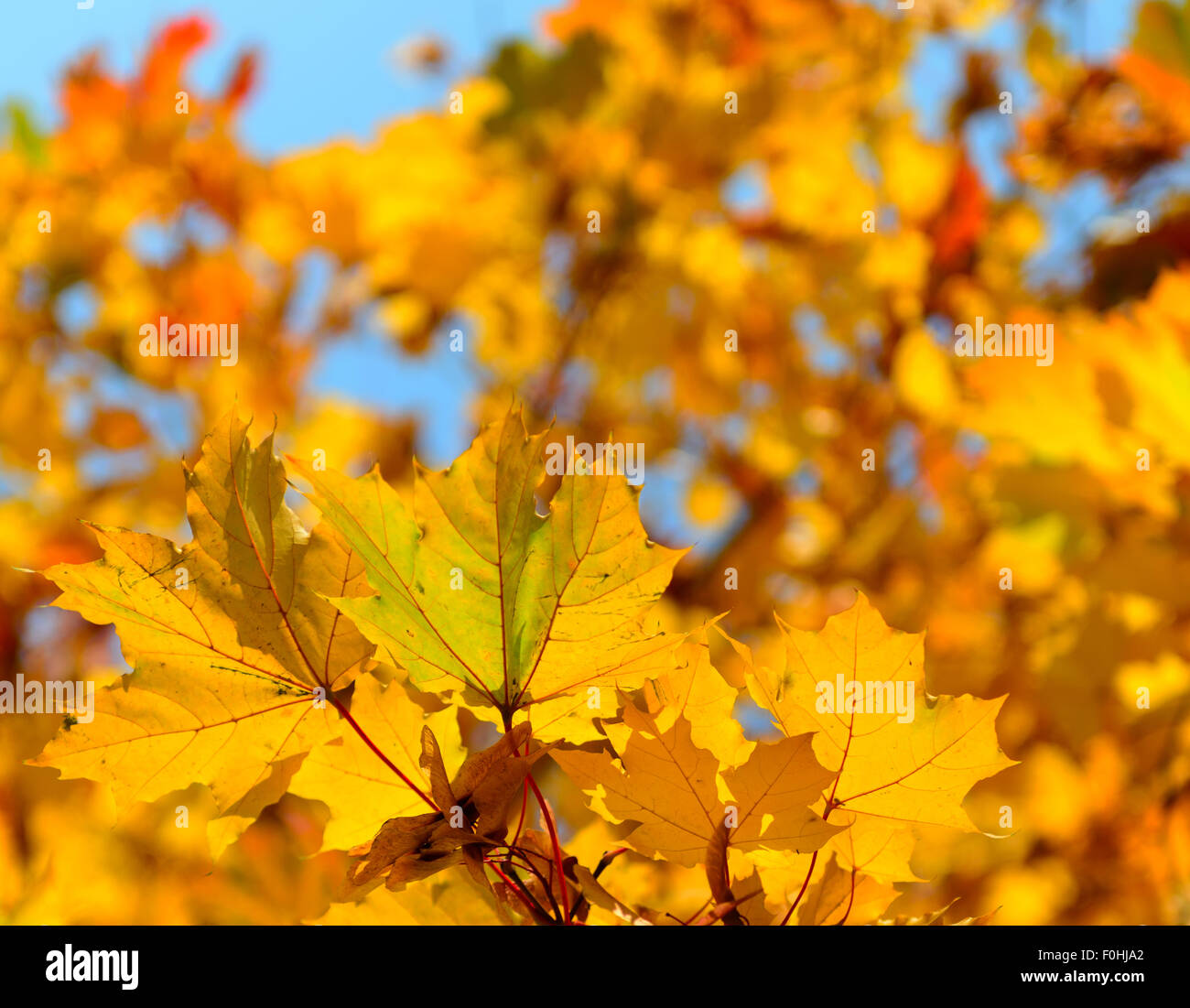 autumn leaves, very shallow focus - Stock Image