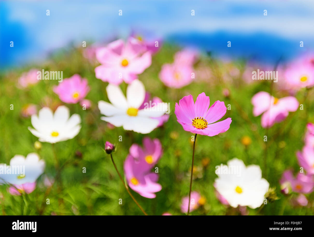 A meadow of summer flowers over sky - Stock Image