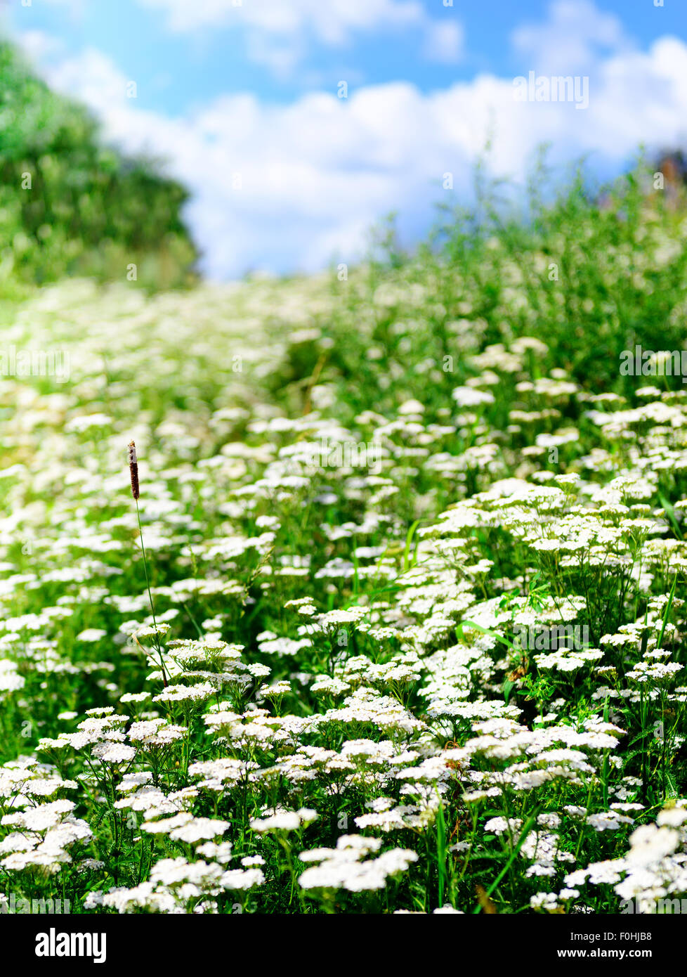 Summer flowering grass and green plants - Stock Image