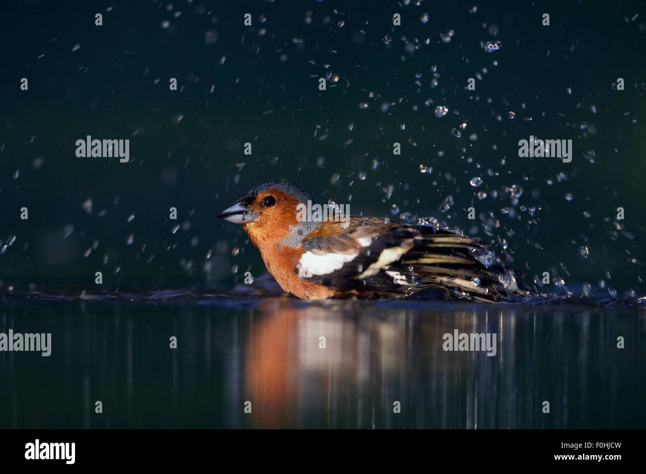 Chaffinch (Fringilla coelebs) having a water bath. Hungary, May. Wild Wonders of Europe, Magic Moments Book. - Stock Image