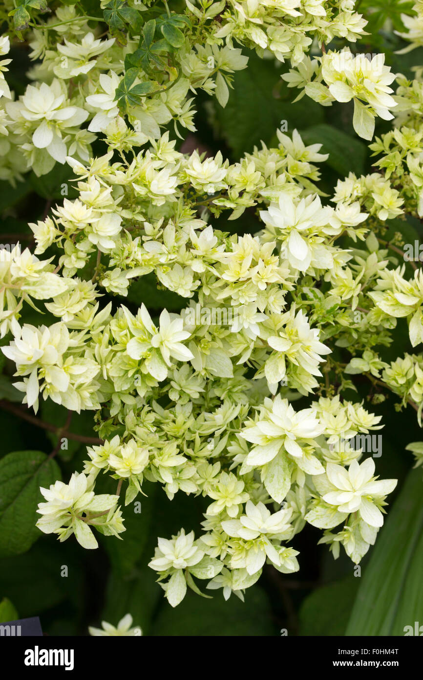 Double white sterile flowers of the late summer blooming Hydrangea arborescens 'Hayes Starburst' - Stock Image