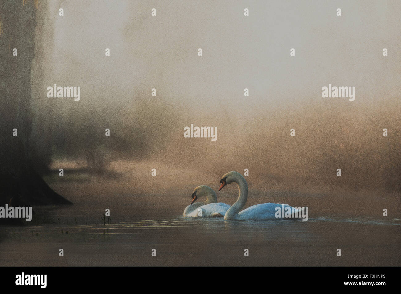 A pair of Swans on river in morning mist Stock Photo