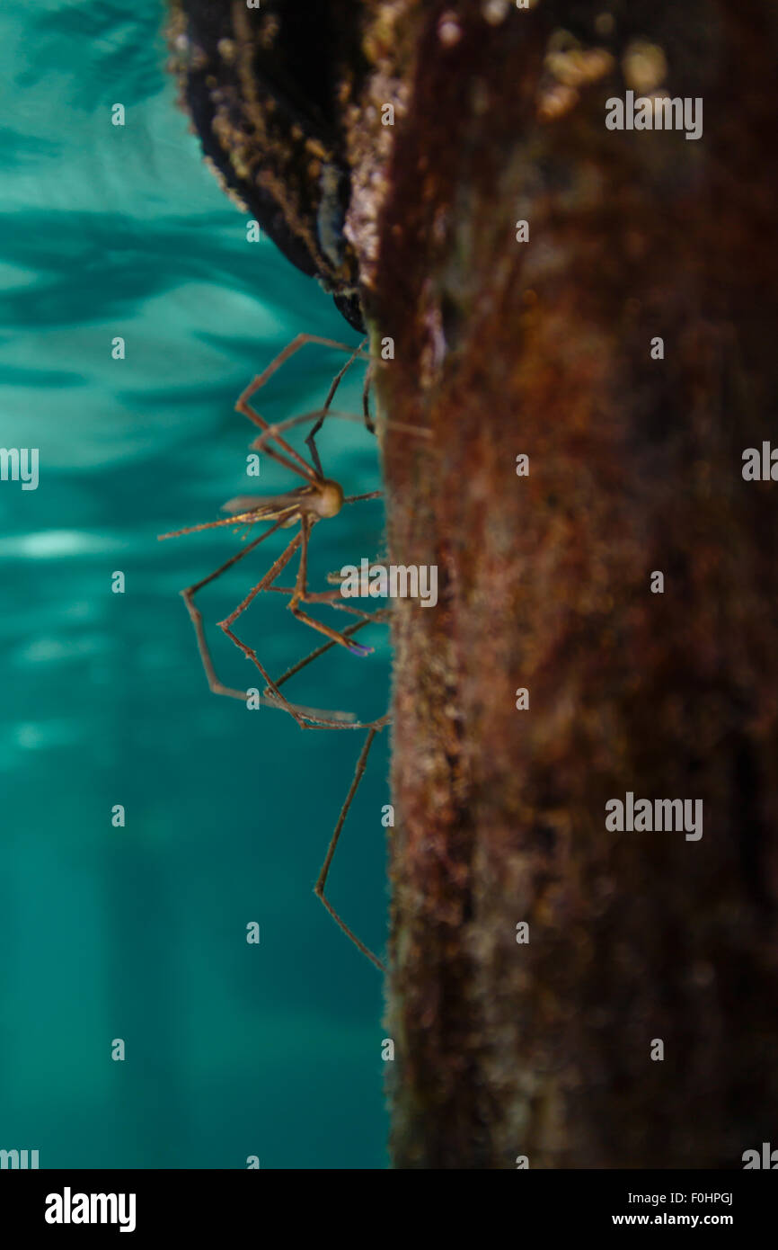 Arrow crabs,  Stenorhynchus seticornis,  crawl on dock post - Stock Image