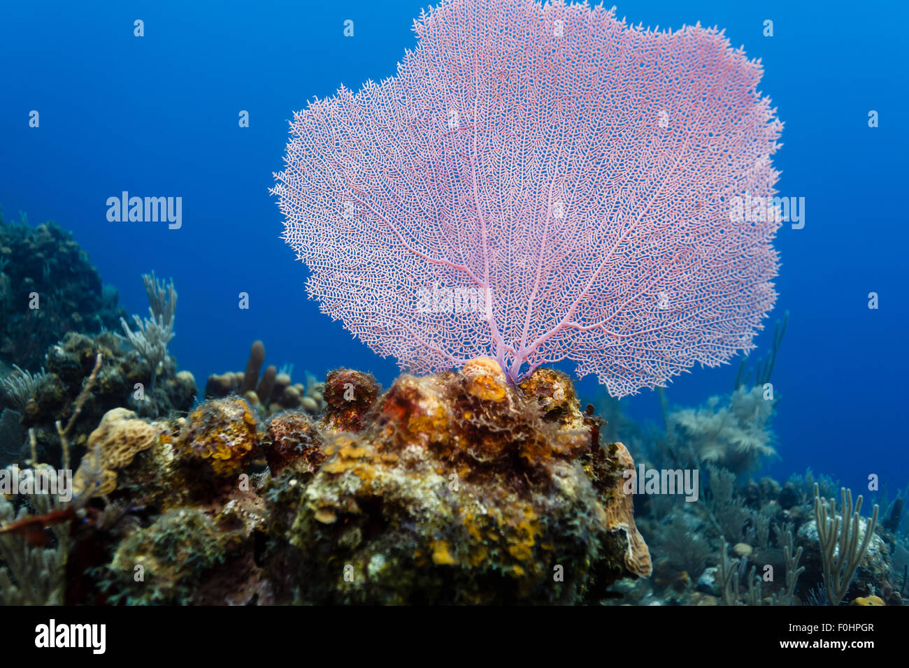 Close up detail of purple Gorginian sea fan, Gorgonia flabellum, on coral reef - Stock Image