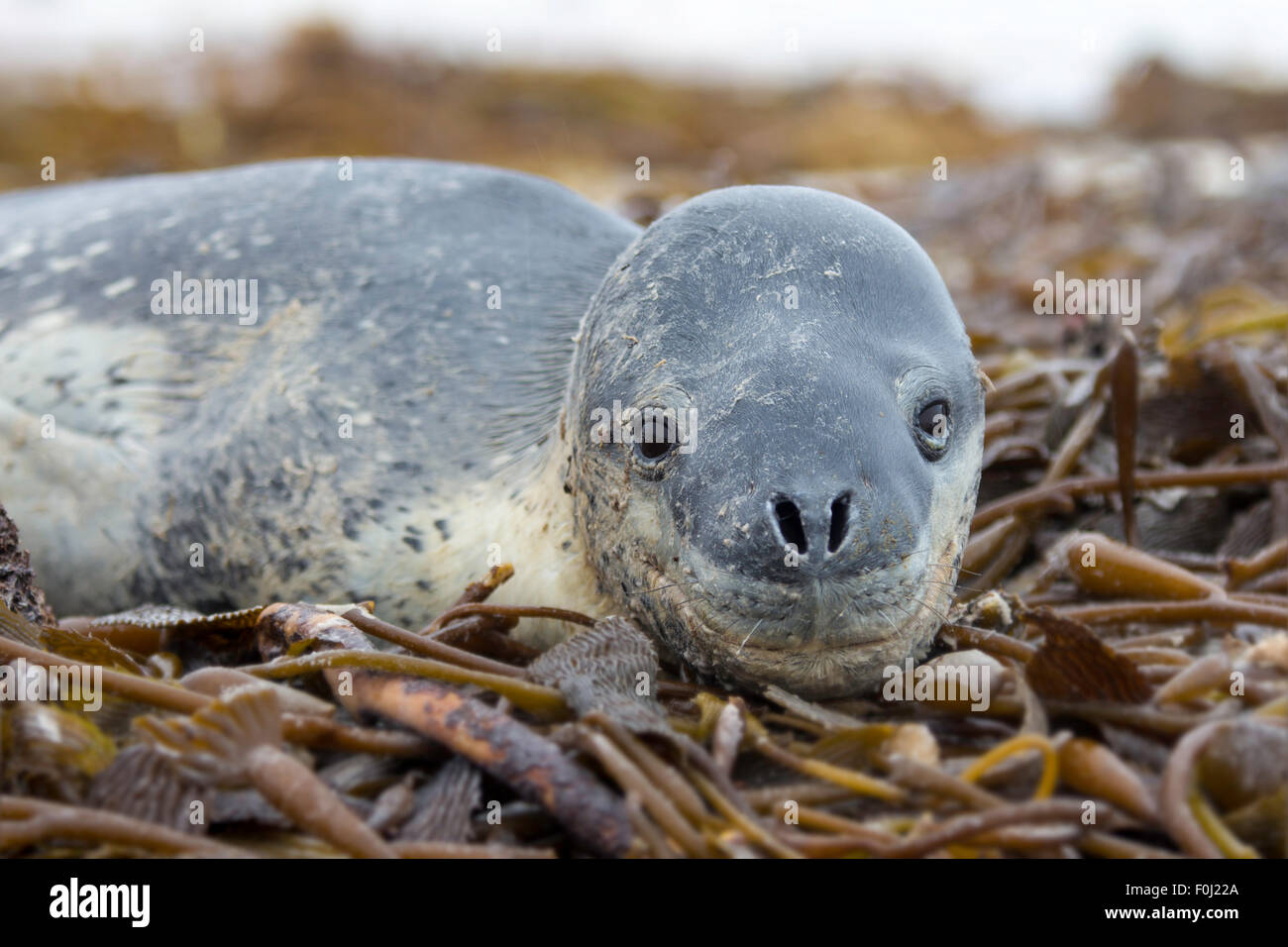 A Leopard Seal lying in Kelp on the shore at Volunteer Point, Falkland Islands. Leopard seals are not native to - Stock Image