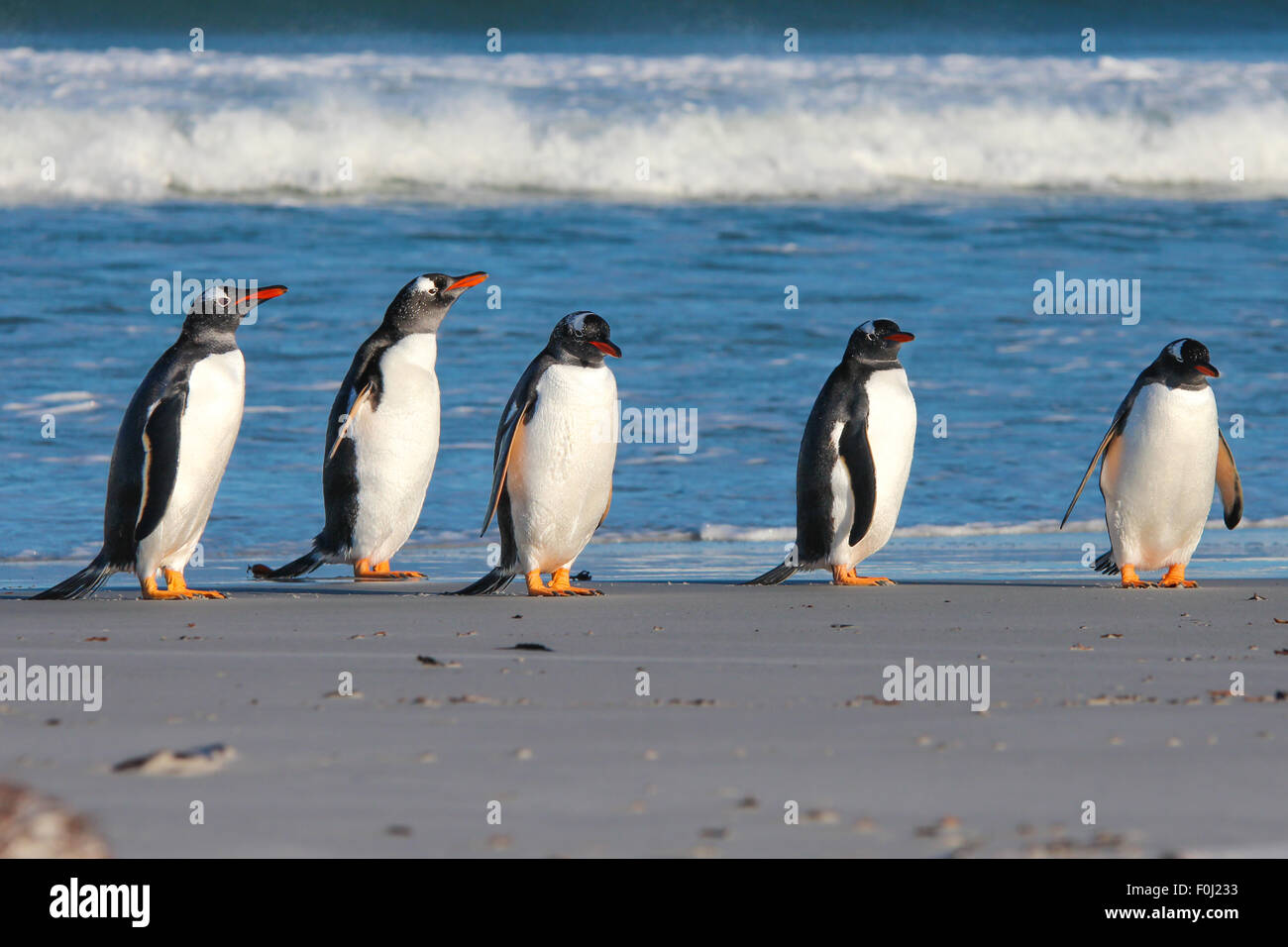 Five Gentoo Penguins lined up by the surf. Bertha's Beach, Falkland Islands. - Stock Image