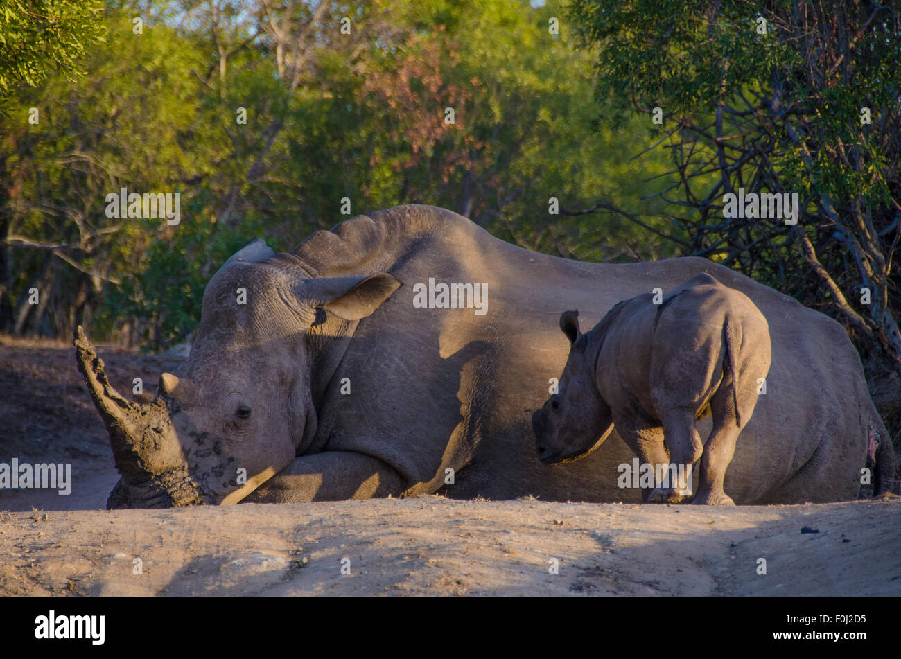 As the sun begins to set over Mkhaya Game Reserve, a white rhinoceros rests in the forest as its baby looks on. Stock Photo