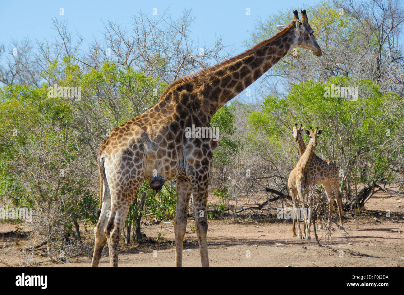 An adult South African giraffe feasts on vegetation as its babies play with one another in Swaziland. - Stock Image