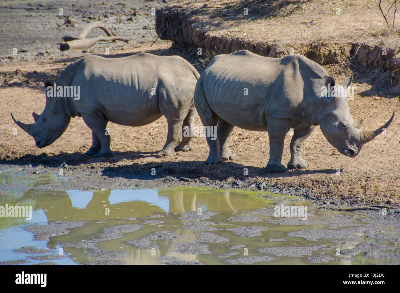 Two white rhinos gather around a watering hole at Mkhaya Game Reserve to drink and relax. - Stock Image