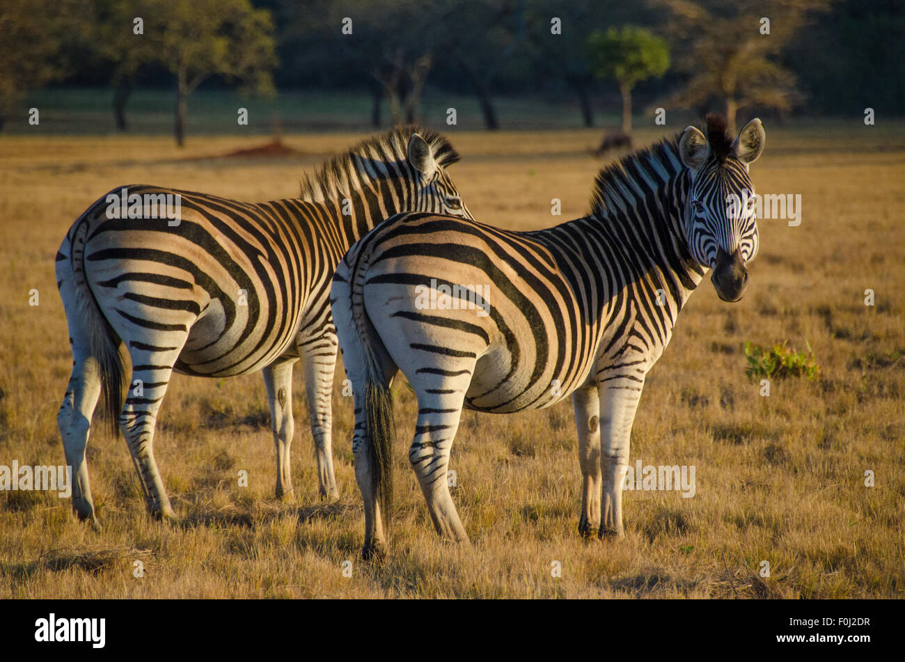 A herd of zebras graze at Mlilwane Wildlife Sanctuary in Swaziland as the sun begins to rise. - Stock Image