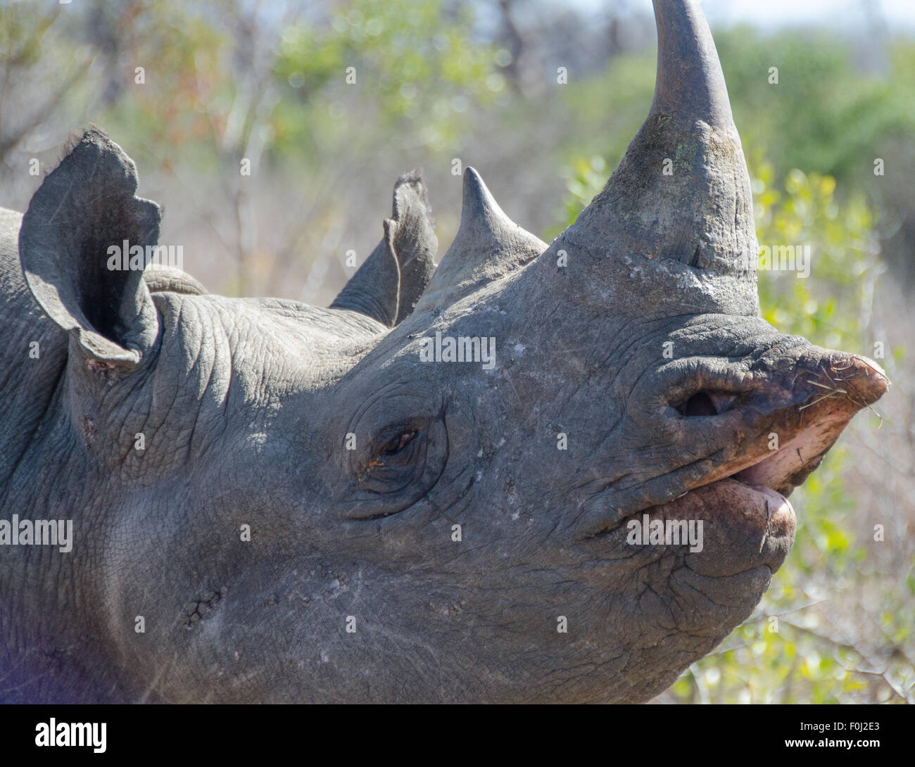 The elusive and critically endangered black rhinoceros roams through the Mkhaya Game Reserve in Swaziland. - Stock Image