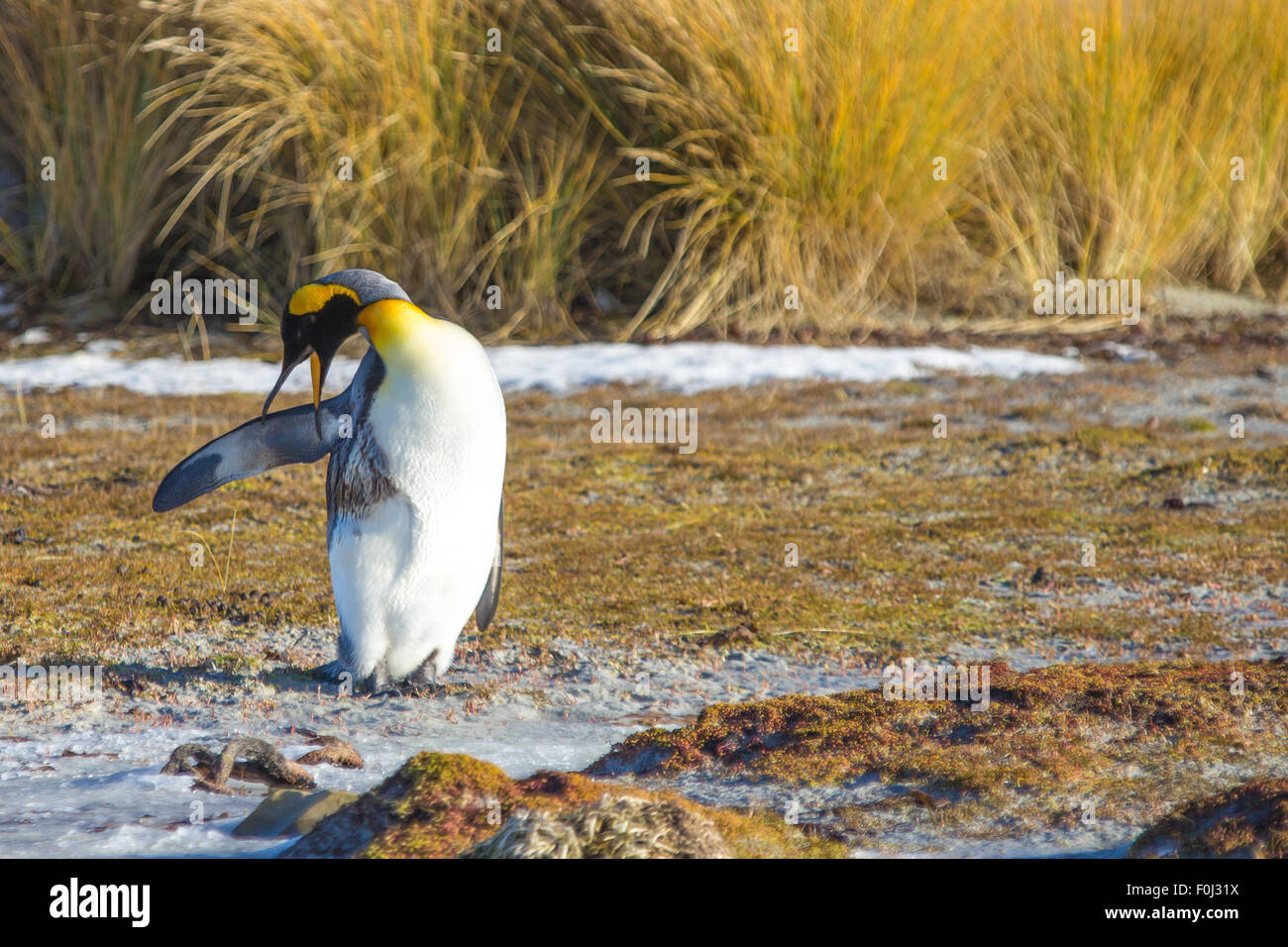 King Penguin polluted with oil trying to preen. Falkland Islands. - Stock Image