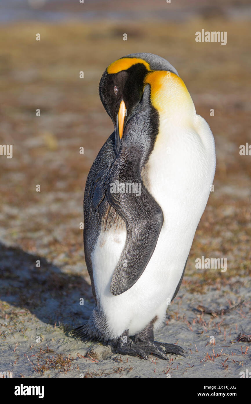 King Penguin (Aptenodytes patagonicus) with oil polluted feathers on one side. Trying to preen, clean oil from wing. - Stock Image