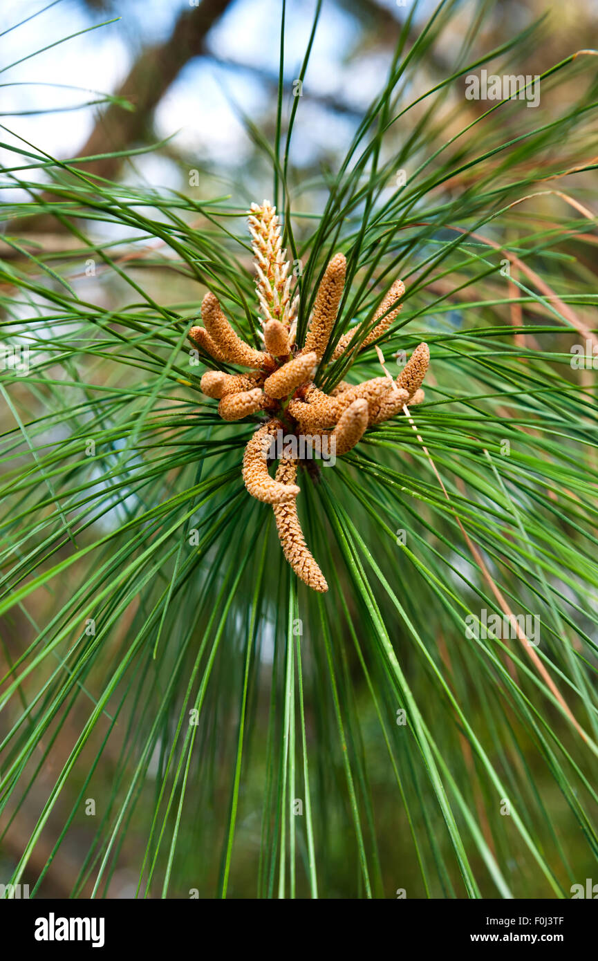 Long-Leaf Pine (Pinus palustris) Pollen Sacs - Stock Image