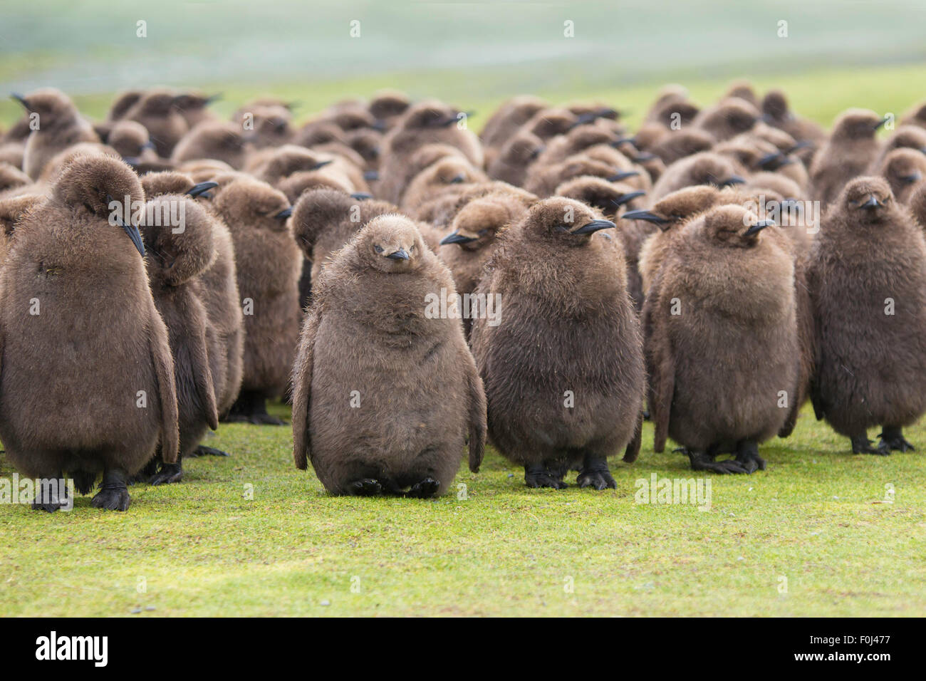 A large creche of King Penguin Chicks, huddled in the rain at Volunteer Point, Falkland Islands. - Stock Image